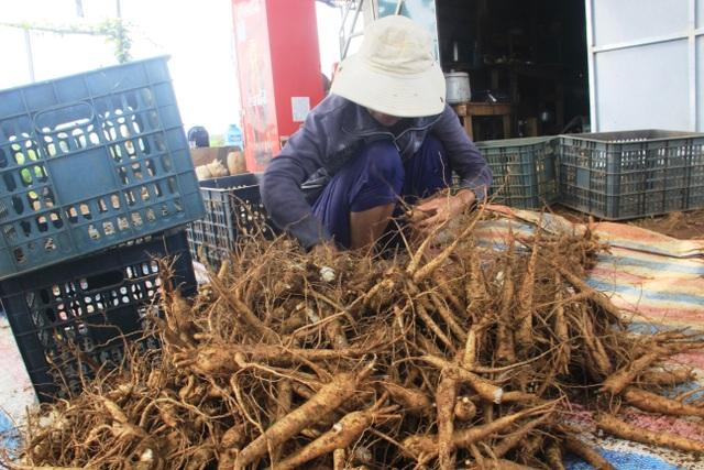 Quảng Trị:  Trồng sâm Bố Chính trên đất đỏ bazan, thu lãi hơn nửa tỷ đồng - 6