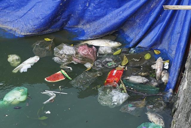 Sau 1 tháng, đàn cá Koi tại sông Tô Lịch bây giờ ra sao? - 6