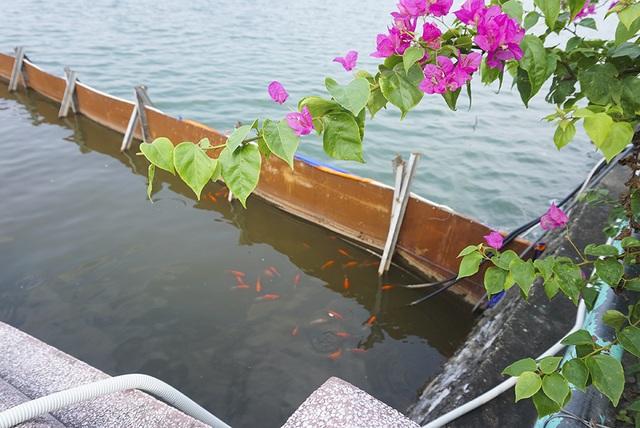 Sau 1 tháng, đàn cá Koi tại sông Tô Lịch bây giờ ra sao? - 2