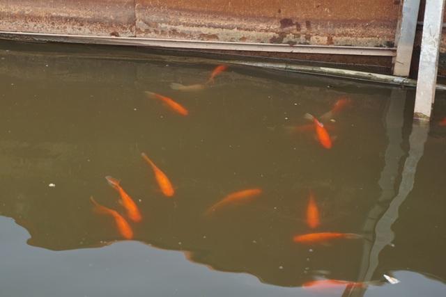 Sau 1 tháng, đàn cá Koi tại sông Tô Lịch bây giờ ra sao? - 3