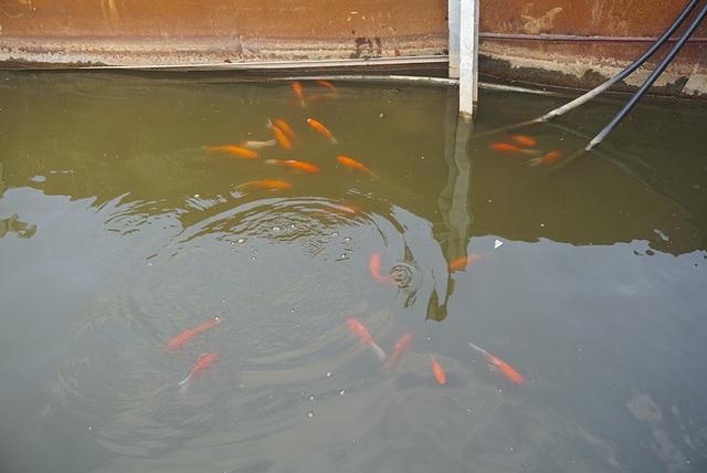 Sau 1 tháng, đàn cá Koi tại sông Tô Lịch bây giờ ra sao? - 4