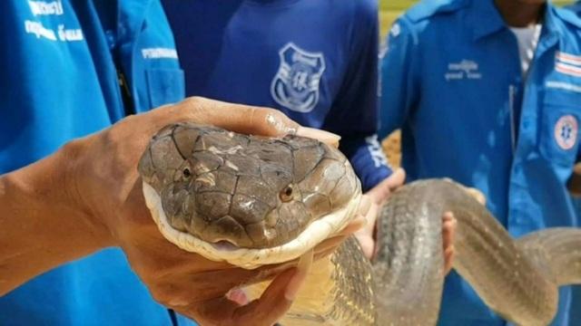 Thót tim xem cảnh bắt rắn hổ mang chúa ở Thái Lan - 1