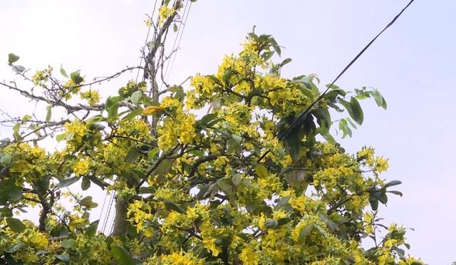 Nhà vườn trồng mai lao đao vì hoa mai nở hoa sớm - 2