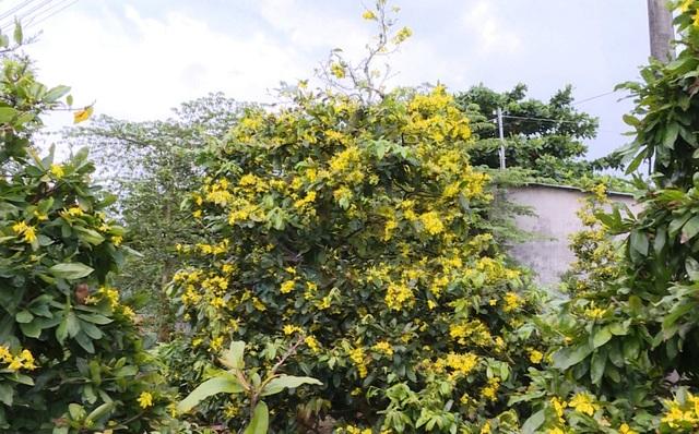 Nhà vườn trồng mai lao đao vì hoa mai nở hoa sớm - 3