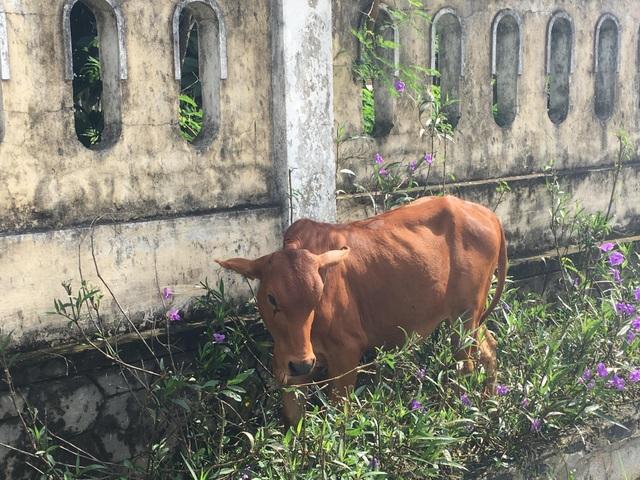 Đề nghị báo cáo vụ cụ già không còn sức lao động vẫn được tặng bò thoát nghèo - 2