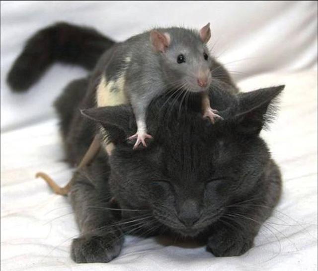 Mèo Kitys 69 của Calibra: Chú mèo công nghệ 4.0 - Giải pháp đuổi chuột hiệu quả - 2