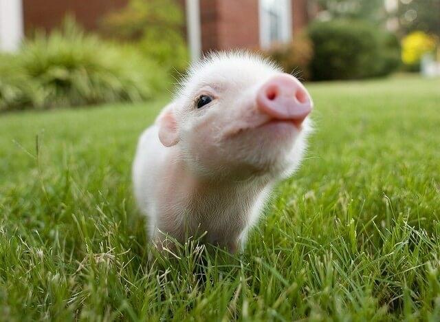 Lần đầu tiên dùng da lợn biến đổi gene cấy ghép cho người - 1
