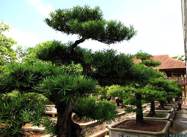 Đột nhập vườn tùng cổ hàng trăm tỷ của đại gia Hưng Yên - 13