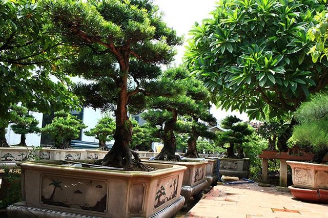 Đột nhập vườn tùng cổ hàng trăm tỷ của đại gia Hưng Yên - 2
