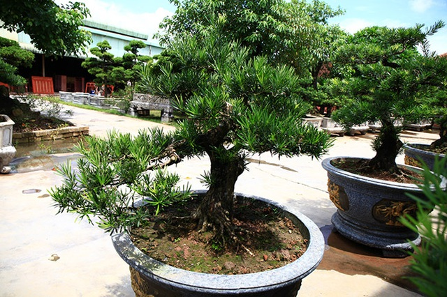 Đột nhập vườn tùng cổ hàng trăm tỷ của đại gia Hưng Yên - 7