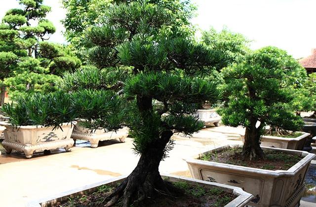 Đột nhập vườn tùng cổ hàng trăm tỷ của đại gia Hưng Yên - 8