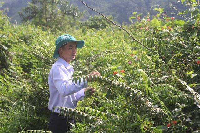 Những loại lá rừng đặc sản trên vùng núi Tây Nguyên - 6