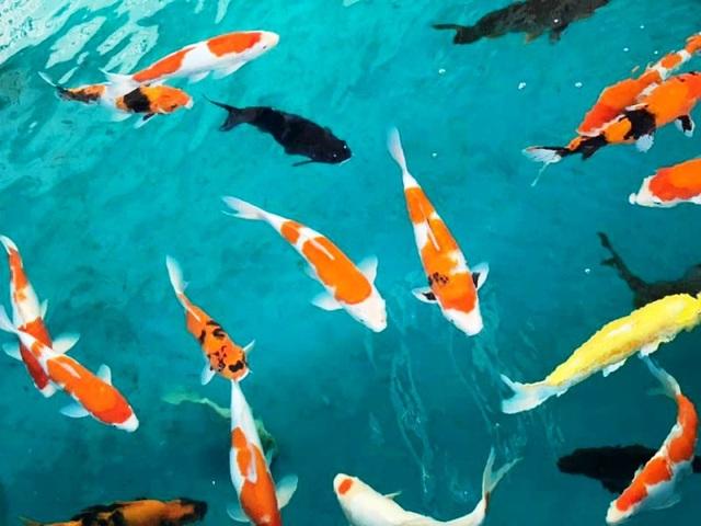 """""""Mục sở thị"""" nuôi, nhân giống cá Koi Nhật Bản tại Bình Định - 4"""