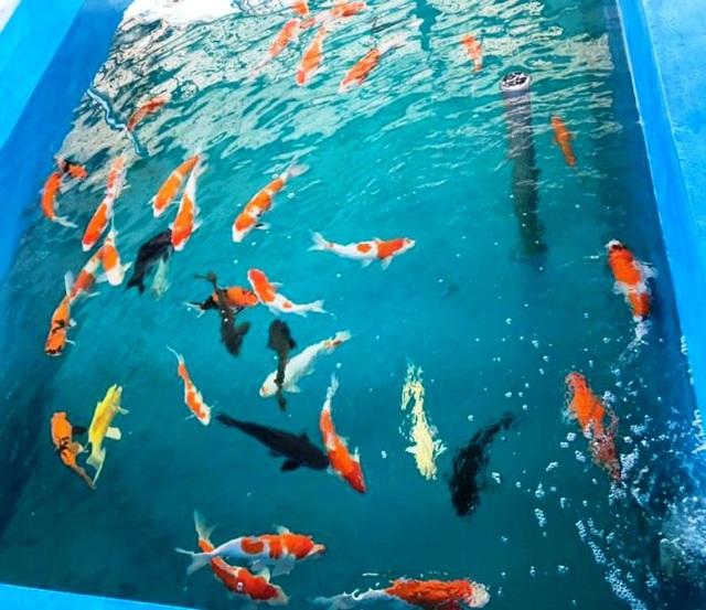"""""""Mục sở thị"""" nuôi, nhân giống cá Koi Nhật Bản tại Bình Định - 3"""