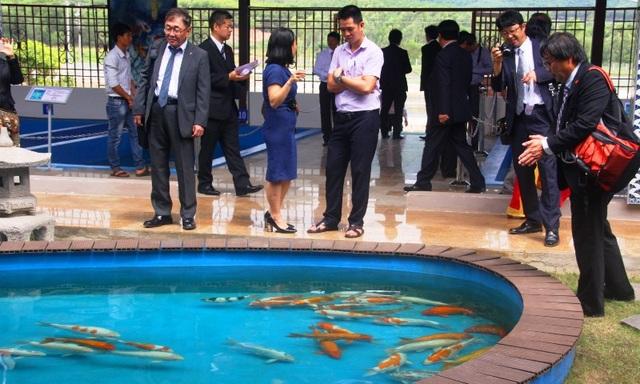 """""""Mục sở thị"""" nuôi, nhân giống cá Koi Nhật Bản tại Bình Định - 2"""