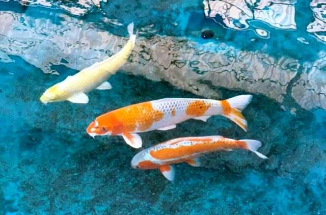 """""""Mục sở thị"""" nuôi, nhân giống cá Koi Nhật Bản tại Bình Định - 5"""