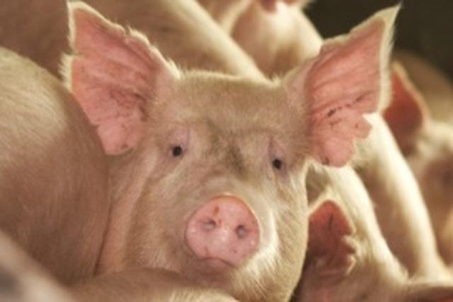 Sử dụng da lợn chứa tế bào sống để điều trị tổn thương bỏng ở người - 1