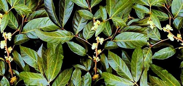 POWERMAN: Viên uống sinh lý nghiên cứu thành công từ cây Muira Puama tại Việt Nam. - 1