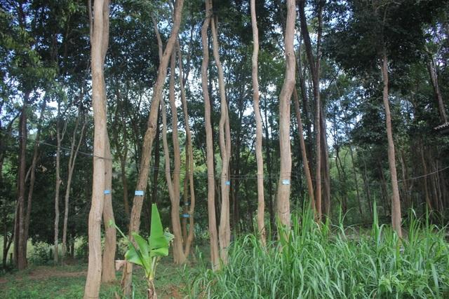 Thắp đèn canh rừng trắc trăm tuổi quý hiếm - 7