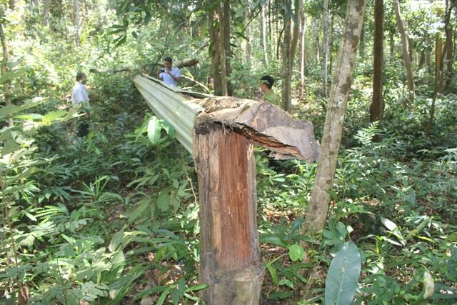 Thắp đèn canh rừng trắc trăm tuổi quý hiếm - 5