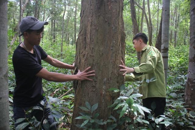 Thắp đèn canh rừng trắc trăm tuổi quý hiếm - 3