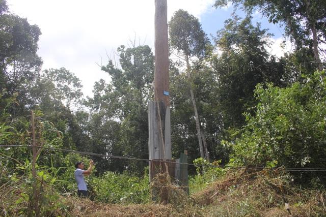 Thắp đèn canh rừng trắc trăm tuổi quý hiếm - 4