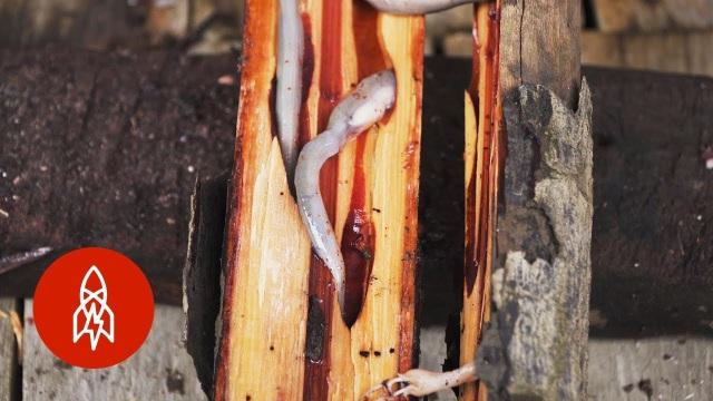 """Ăn sống sâu gỗ nhầy nhụa – món đặc sản xếp hạng kinh dị"""" - 3"""