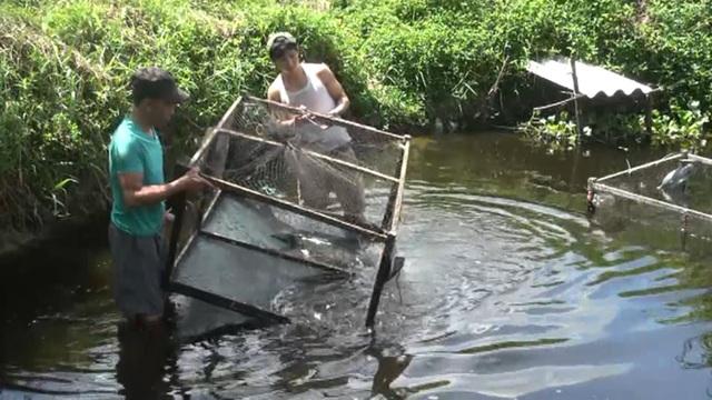 Quảng Bình: Dân bãi ngang thoát nghèo nhờ ...nuôi cá lóc trên vùng cát trắng - 4