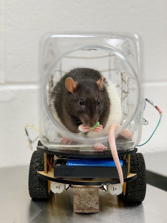 Khoa học hành vi: Chuột có thể được đào tạo để lái xe? - 2