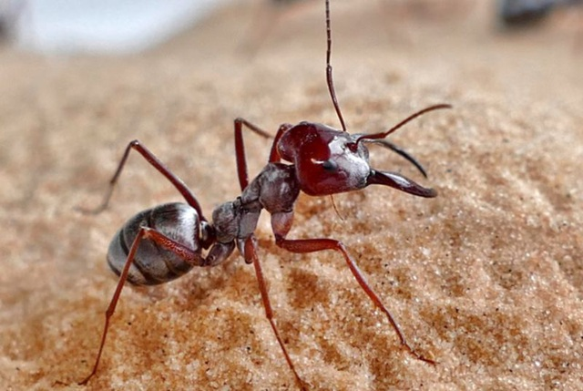 Loài kiến nhanh nhất thế giới: Đạt tốc độ 645 km/giờ nếu lớn bằng... con người - 1