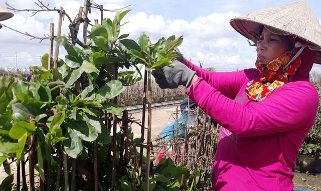 Nông dân mách nước trồng mai bonsai, thu nhập vài trăm triệu đồng mỗi năm - 1