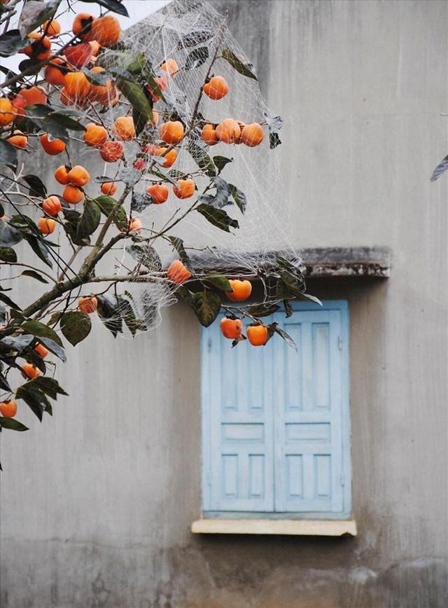 Mê mẩn mùa hồng chín ở Đà Lạt, du khách đi chẳng muốn về - 4