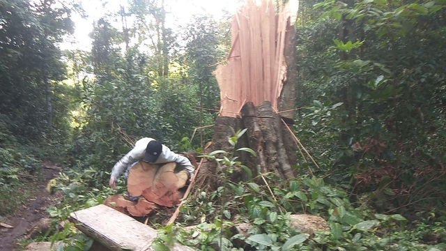 UBND tỉnh Gia Lai chỉ đạo làm rõ việc rừng cổ thụ Mang Yang bị phá tan hoang! - 2