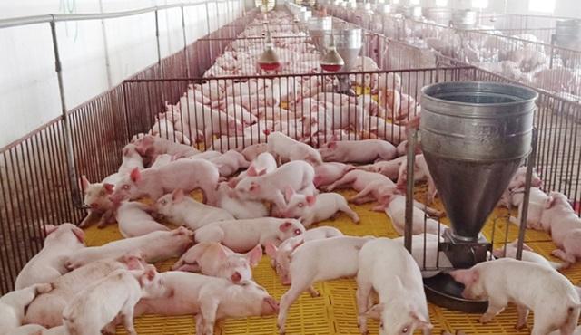 Mặc bão dịch, nhiều chủ trại chăn nuôi lợn vẫn tự tin tái đàn đón Tết - 2