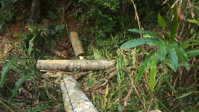 Vụ phá rừng Mang Yang: Phát hiện 2 hộ dân chặt cây về làm nhà - 2