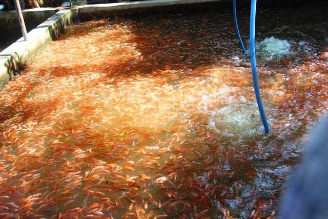 Nuôi bạt ngàn loài cá siêu đẹp, anh Luyện đút túi hơn 2 tỷ đồng mỗi năm - 10