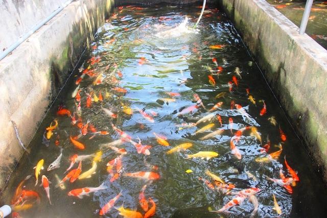 Nuôi bạt ngàn loài cá siêu đẹp, anh Luyện đút túi hơn 2 tỷ đồng mỗi năm - 2