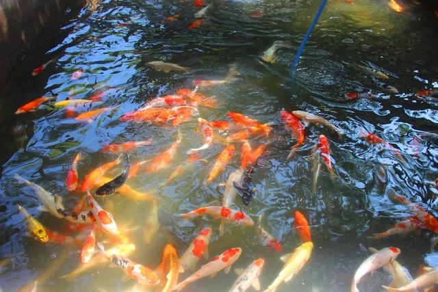 Nuôi bạt ngàn loài cá siêu đẹp, anh Luyện đút túi hơn 2 tỷ đồng mỗi năm - 9