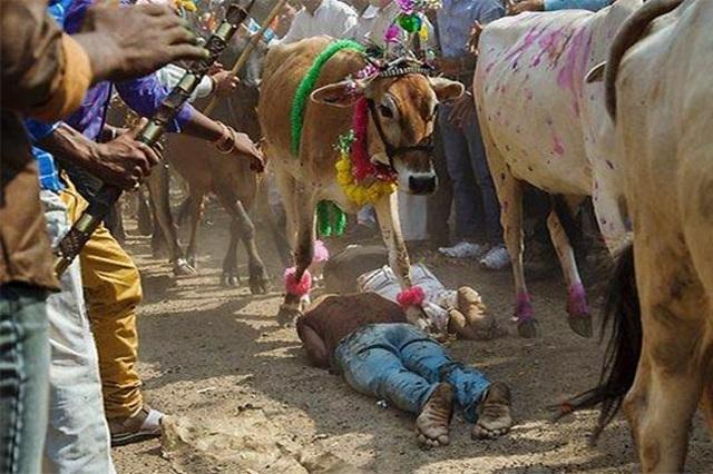 Nằm dài trên đất cho hàng chục con bò dẫm đạp để... cầu may - 2