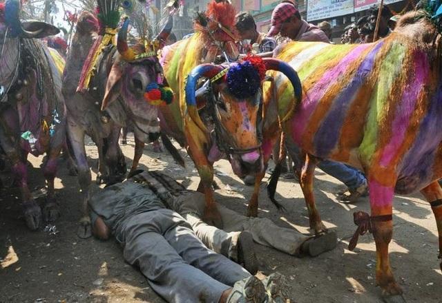 Nằm dài trên đất cho hàng chục con bò dẫm đạp để... cầu may - 3