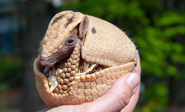 Một số động vật có thể tự tạm dừng… thai kỳ - 1