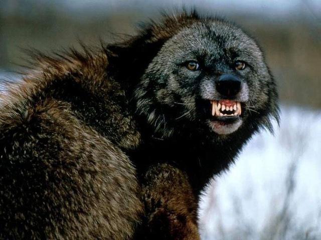 """""""Người sói"""" phiên bản thật 100%: Thể chất phi thường, hung hăng, tấn công cả gấu Bắc Cực - 10"""