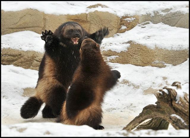 """""""Người sói"""" phiên bản thật 100%: Thể chất phi thường, hung hăng, tấn công cả gấu Bắc Cực - 8"""