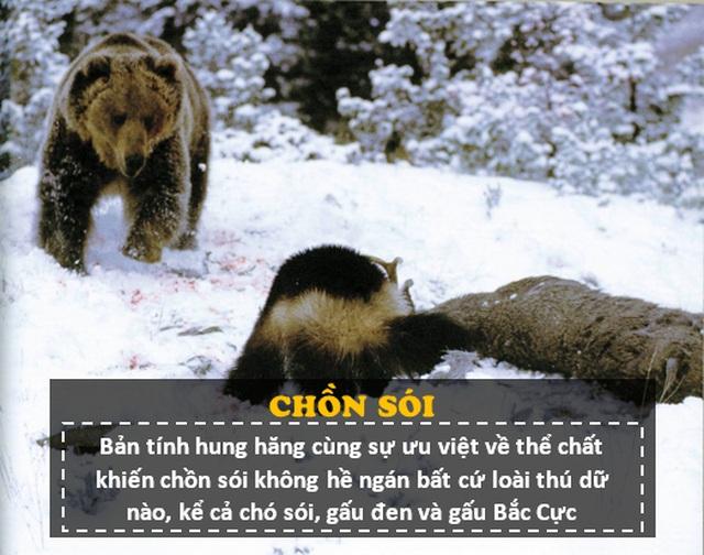 """""""Người sói"""" phiên bản thật 100%: Thể chất phi thường, hung hăng, tấn công cả gấu Bắc Cực - 4"""