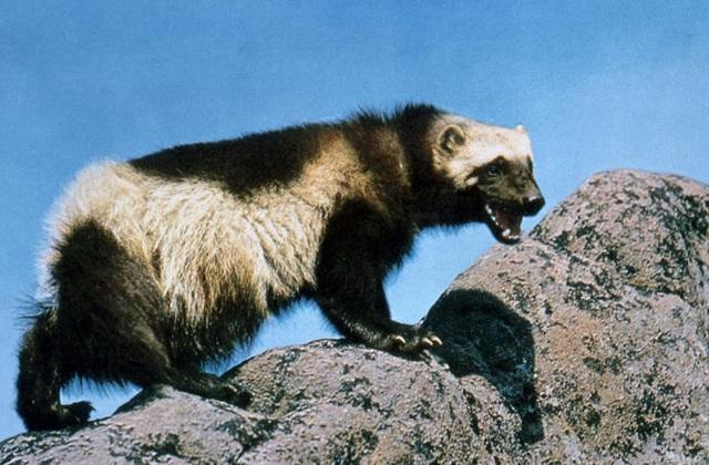 """""""Người sói"""" phiên bản thật 100%: Thể chất phi thường, hung hăng, tấn công cả gấu Bắc Cực - 11"""