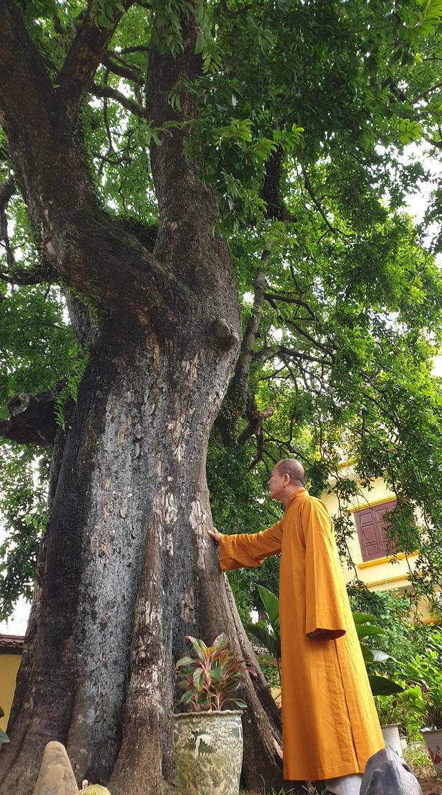 Cây thị 900 năm tuổi bên bến Bạch Đằng Giang được công nhận Cây Di sản - 3