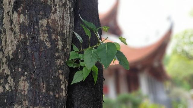 Cây thị 900 năm tuổi bên bến Bạch Đằng Giang được công nhận Cây Di sản - 5