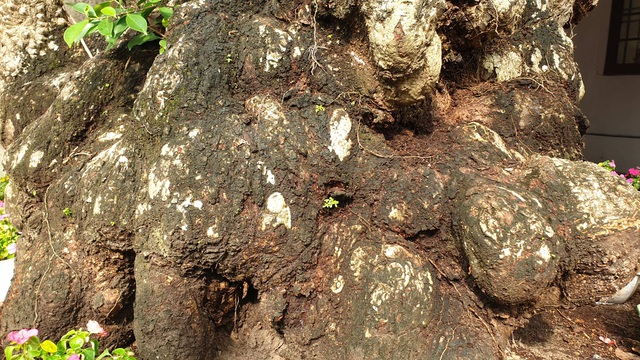 Cây thị 900 năm tuổi bên bến Bạch Đằng Giang được công nhận Cây Di sản - 7
