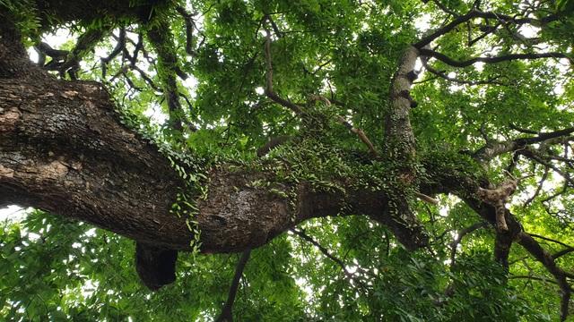 Cây thị 900 năm tuổi bên bến Bạch Đằng Giang được công nhận Cây Di sản - 4