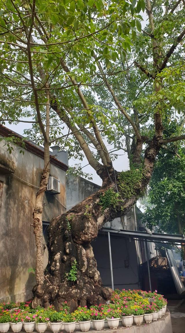 Cây thị 900 năm tuổi bên bến Bạch Đằng Giang được công nhận Cây Di sản - 6